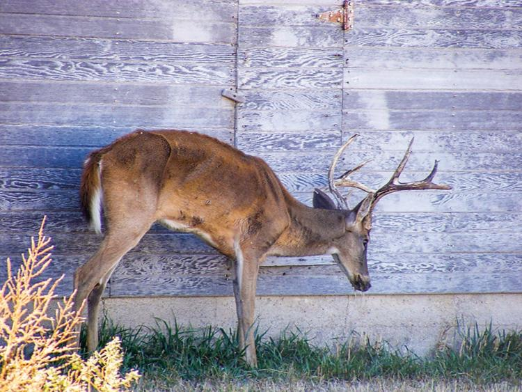 Zombie deer disease takes over United States